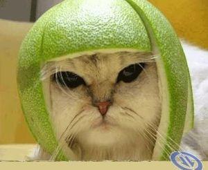 gambar-lucu-kucing-lucu-berhelm-kulit-jeruk