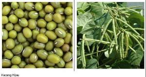 kacang hijau2