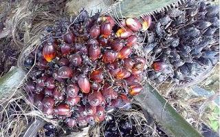 Abu tandan kelapa sawit utk pemupukan kelapa sawit