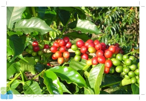 cara-budidaya-tanaman-kopi