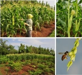 Info Pertanian Jagung Organik Di Kebun Sendiri Bengkel Teknologi