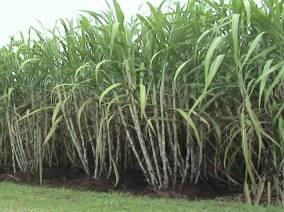 tanaman tebu